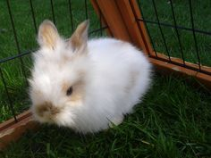 Baby Lionhead Rabbits | All Reserved-purebred Baby Lionhead Bunnies