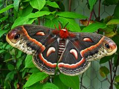 "'Cecropia-Cecropia Moth' [up to 6""] by NatureDuQuebec ...see 'matching' caterpillar!!!"