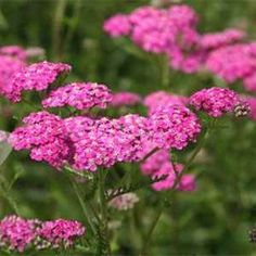 Outsidepride Yarrow Cerise Queen  10000 Seeds >>> Check this awesome product by going to the link at the image. (This is an affiliate link) #GardeningFlowerPlantsandSeeds