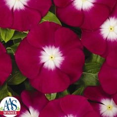 One of my favorite flowers for easy, annual color is the vinca. Periwinkle Flowers, Red Flowers, Organic Gardening Magazine, Green Garden, Trends, Types Of Plants, Large White, All The Colors, Mother Nature