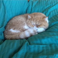Precious exotic shorthair cat Chester