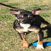 Texas City Tx Australian Kelpie Meet Spunky A Pet For Adoption Animals Pet Adoption Texas City