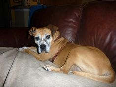 Meet Lottie, an adoptable Boxer looking for a forever home. If you're looking for a new pet to adopt or want information on how to get involved with adoptable pets, Petfinder.com is a great resource.