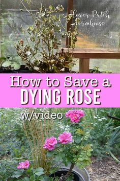 How to save a dying rose bush. Whether eaten by gophers, voles or just not thriving I have a simple step by step procedure that will revive a dying rose bush. Pretty Flowers, Cottage Garden Plan, Cottage Garden Design, Cottage Gardens, Rose Video, V Video, Gardens, Flowers