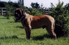 Boys-Old English Mastiff Dogs Top Pedigree Puppies Mastiff Puppies For Sale, Mastiff Dogs, Old English Mastiffs, North America, Boys, Baby Boys, Senior Boys, Sons, Guys