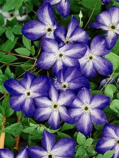 Clematis 'Venosa Violacea' - Flowers measure 4-5' across and bloom from July to September. Zones 4-10