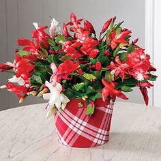 Always enormously popular, this cactus provides red and white blooms that look as sweet as candy! The fabric cachepot was designed exclusively by Jackson & Perkins and can't be found anywhere else. It is the perfect gift for any holiday occasion. Christmas Cactus, Christmas Candy, Holiday, Christmas Gifts For Boyfriend, Boyfriend Gifts, Romantic Gifts For Her, Romantic Ideas, Planting Flowers, Potted Flowers
