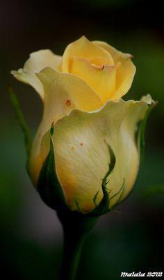 Yellow rose bud لا أحب اللون الأصفر ،، إلا أن هذه الدرجة منه رائعة ،، !!