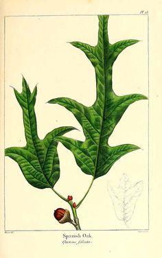 158482 Quercus falcata Michx. / Michaux, F.A., The North American sylva, vol. 1: t. 23 (1817-1819) [P. Bessa]