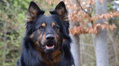 Česká plemena psů mají zajímavou historii. Patří k nim i chodský pes, který málem upadl v zapomenutí. Naštěstí se ale jeho chov podařilo obnovit.
