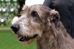 Irish Wolfhound!