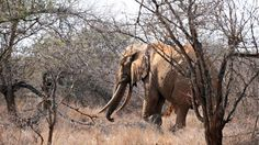 "An elephant walks amid dry brush as it searches for food at the Tsavo West National Park in southern Kenya on August 21, 2009.: One of the park's elephants, photographed in 2009. It takes decades for ivory tusks to grow to ""giant tusker"" size"