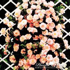 Climbing Roses (Repeat-Flowering)