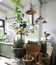 Growing a lemon plant from a seed. The Good Life - Growing a lemon plant from a seed. Garden Care, Garden Beds, Citroen Plant, Hanging Plants, Indoor Plants, Lemon Plant, Contemporary Garden Rooms, Kitchen Plants, Indoor Water Fountains