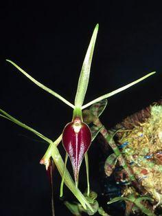epidendrumescobarianum1_71.jpg