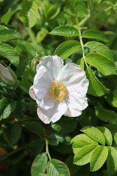 rimpelroos Rosa rugosa 'Alba' - rose shrub. Another rose for the other gap in the play area hedge? £12.99
