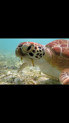 Green turtle close up Green Turtle, Under The Sea, Caribbean, Fish, Pets, Animals, Animals And Pets, Animales, Animaux