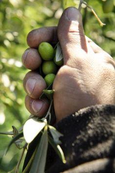 zbiór oliwek