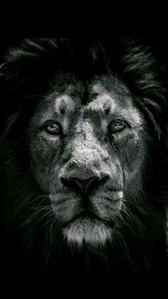 Imagem de lion, animal, and black and white