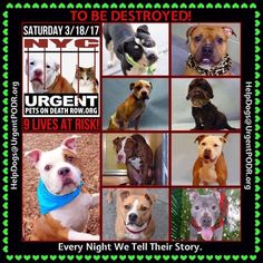 TO BE DESTROYED 03/18/17 - - Info   To rescue a Death Row Dog, Please read this:http://information.urgentpodr.org/adoption-info-and-list-of-rescues/  To view the full album, please click here:http://nycdogs.urgentpodr.org/tbd-dogs-page/ -  Click for info & Current Status: http://nycdogs.urgentpodr.org/to-be-destroyed-4915/