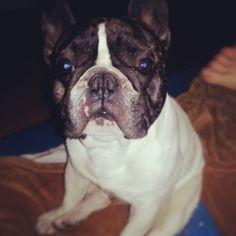 Sieh dir Instagram-Fotos und -Videos von Engelbert Bernadett (@szivarlany) an Videos, Boston Terrier, French Bulldog, Instagram Posts, Animals, Pictures, Boston Terriers, Animales, Animaux