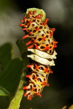 ˚Chalcosiine Day-flying Moth Caterpillar (Chalcosiinae, Zygaenidae)