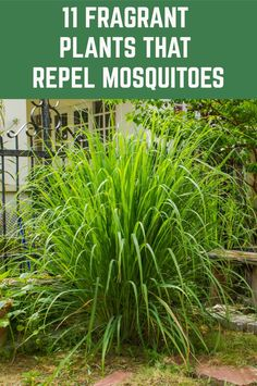 11 Fragrant Plants That Repel Mosquitoes - - Here are eleven beautiful and fragrant plants that repel mosquitoes - keeping your home and garden mosquito free. Garden Yard Ideas, Lawn And Garden, Garden Projects, Garden Layouts, Garden Water, Easy Garden, Herb Garden, Garden Trees, Garden Table
