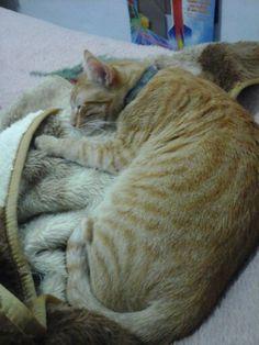 Tigre e sua coberta.