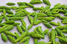 How to Use and Harvest Edible Spruce Tips (or Fir & Pine Tips) | Laurie Constantino