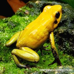 Phyllobates Bicolor Golden Breeding: Intermediate to breed. Uses coco huts and petri dishes. Best kept in a pair (1 male to 1 female). Male have darker throats and a more defined Back Structure. Females tend to be Larger and usually have cleavage in the chest region. Reaches sexual maturity in 14-24 months on average. Produces egg clutches every 5 to 10 days. Clutch size is 10-20 eggs on average. Metamorphosis takes on average 80 days.  Other: Do Not Mix Species