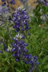 """Texans Love Their Bluebonnets / Texas State Flower - """"The bluebonnet is to Texas what the shamrock is to Ireland, the cherry blossom to Japan, the lily to France, the rose to England and the tulip to Holland"""" -- Jack Maguire"""