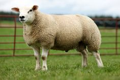 Texel sheep ('Texelaar') is a breed of domestic sheep originally from the island of Texel in the Netherlands.