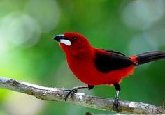 El sangretoro brasileño (Ramphocelus bresilius) En promedio mide 19 cm de longitud y pesa 31 g. Presenta dimorfismo sexual notorio. El plumaje del macho es rojo vivo. Parte de las alas y de la cola son negras. El plumaje de la hembra es menos vistoso, de color pardo en las partes superiores y castaño rojizo en las inferiores. El macho tiene una callosidad blanca brillante en la base de la mandíbula.