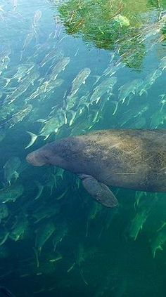 Local wildlife. You can take kayak tours on the bay side of the island to view these creatures! Manatees! Siesta Key, FL