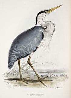 A few days ago I received an email from a reader. She was after a large-scale bird printable to partner the Heron I currently offer. I do already provide a second bird to compliment the Heron Vogel Illustration, Vintage Bird Illustration, Nature Illustration, Images Victoriennes, Audubon Birds, Audubon Prints, Historia Natural, Bird Free, Crane Bird