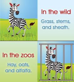 Like all animals in captivity, the diet of ZEBRAS in the wild differs from the grub served in zoos.