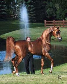 Marwan Al Magnifficoo :: Arabian Horse Association of Arizona