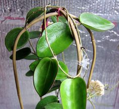 hoya pottsii förväxlas ofta med merrillii