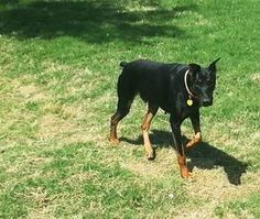 Rambo is an adoptable Doberman Pinscher Dog in Benbrook, TX. Rambo is a 2 yr old black/tan male who is very loveable, loves to fetch a ball and is always happy! He would be a great jogging partner! He...