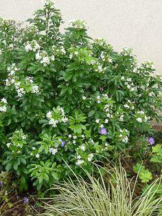 Géranium vivace et oranger du Mexique, fleuris comme au printemps !  http://www.pariscotejardin.fr/2012/12/geranium-vivace-et-oranger-du-mexique-fleuris-comme-au-printemps/