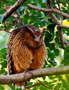 Tawny Fish Owl by FleetingVisions