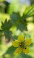 hortical les plantes tinctoriales : notamment calendrier