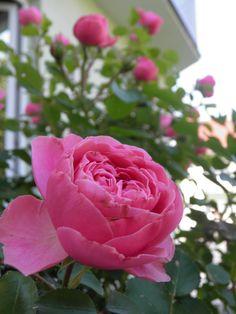 Rose Rose, Garden, Flowers, Plants, Pink, Garten, Lawn And Garden, Gardens, Plant