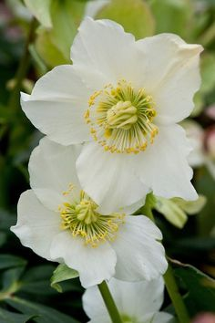 Hellebore (Helleborus niger Gold Collection 'Josef Lemper'),