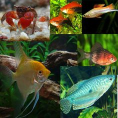 Buy Tropical Fish online delivered to your door. Malawi Cichlids, Guppy, Tropical Fish, Aquarium Fish, Animals, Ideas, Animales, Animaux, Exotic Fish