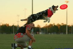 australian shepherd frisbee dog! Amazing, gotta work on this with callie