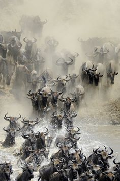Anual migration with thousands of #wilderbeest in #Kenya and #Tanzania