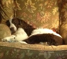 English Springer Spaniel Daisy sleeping on her comfy Arhaus chair! Springer Spaniel Puppies, English Springer Spaniel, I Love Dogs, Puppy Love, Mistletoe, Little Dogs, Beautiful Dogs, Rottweiler, Reptiles