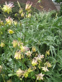 Pink and pale yellow aquileja with the leaves of cynara cardunculus
