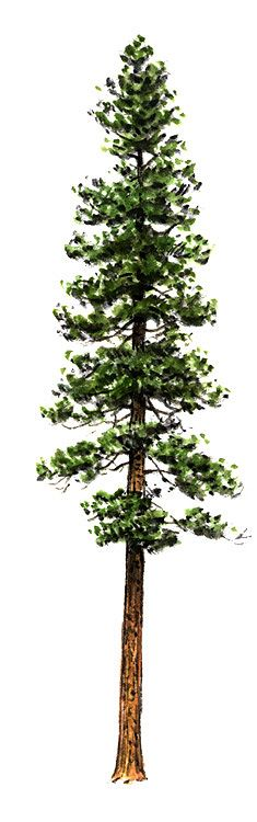Another idea for the redwood showing the root system for Ponderosa pine tattoo